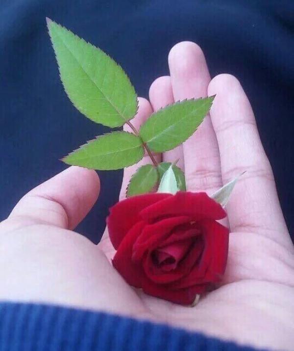 Bài viết, tiểu luận, truyện ngắn - Bông hồng cài áo (Nhất Hạnh)