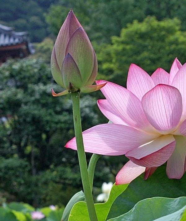 Sử Dụng Thất Giác Chi (Thất Bồ Đề Phần) Trong Công Phu Môn Niệm Phật - Sen nở hiện đời