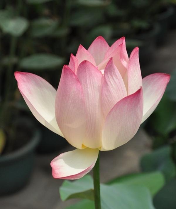 Bài viết, tiểu luận, truyện ngắn - Đại lão Hòa thượng ThíchTrí Hưng