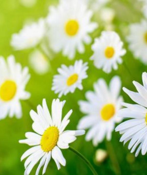 Bài viết, tiểu luận, truyện ngắn - Lòng thiền hoa cúc nở
