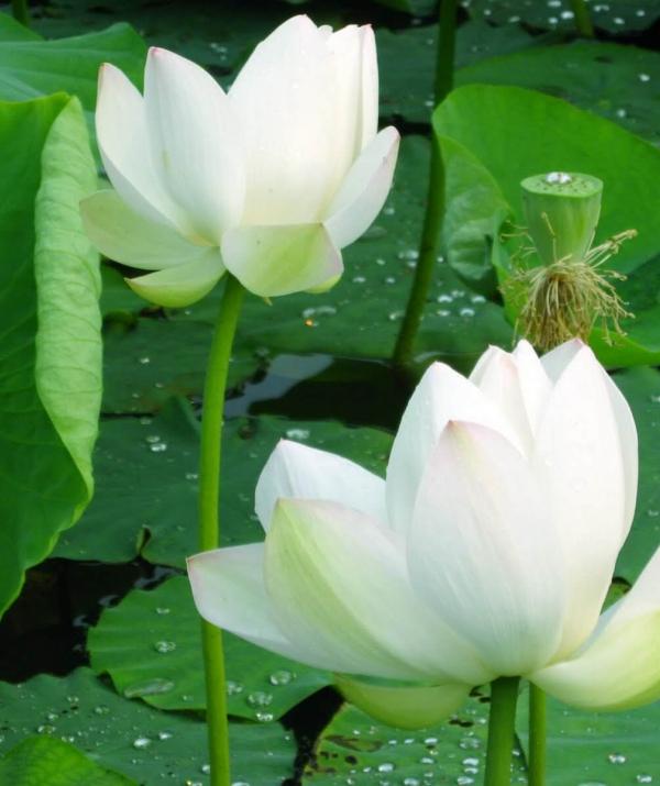 Bài viết, tiểu luận, truyện ngắn - Lịch sử phát triển nền Phật học Việt Nam